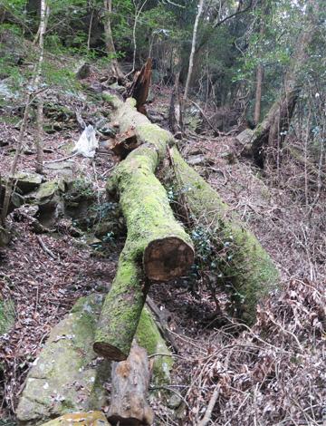 ナラ枯れによる倒木