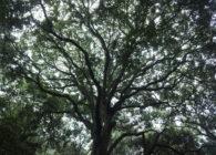 綾の照葉樹林視察